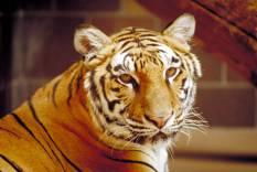 tiger ceiling lens image