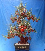 Jade Peach Tree, Price = $1799.99 + S/H size approx H. 6ft x 4 ft