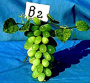 Jade Grapes, Price = $29.99 + S/H SIZE: HEIGHT: 9.5 in, WIDTH: 8 in, DEEP: 6 in